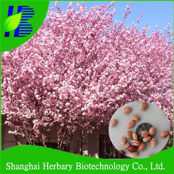 2021 Fresh Japanese Cherry Blossom Seeds For Growing Buy Japanese Cherry Blossom Seeds Tree Bonsai Tree Seeds Product On Alibaba Com