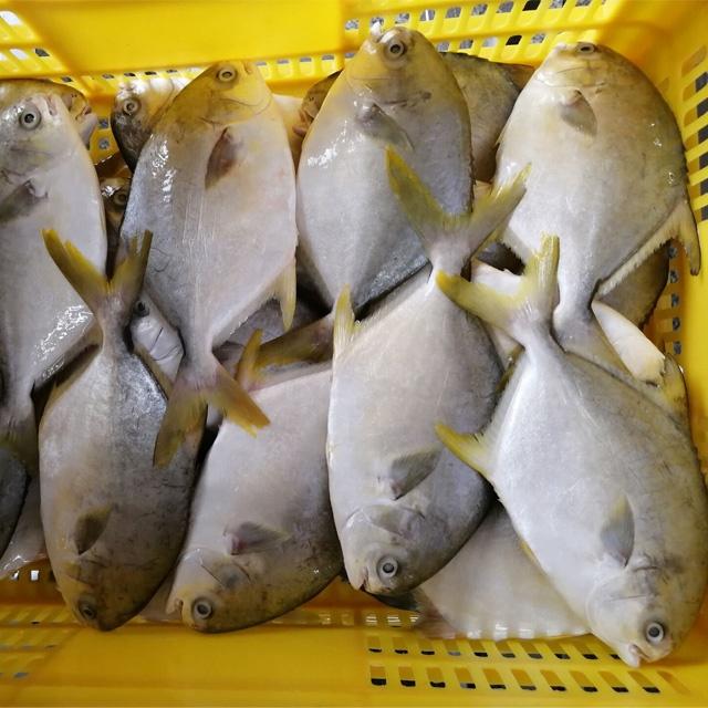 Замороженная Золотая помпано, цельная круглая рыба 400-600 г