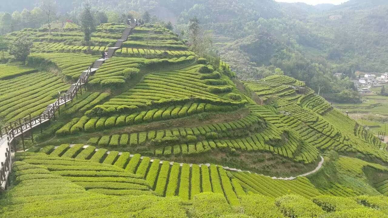 Mao Feng green tea green - 4uTea | 4uTea.com