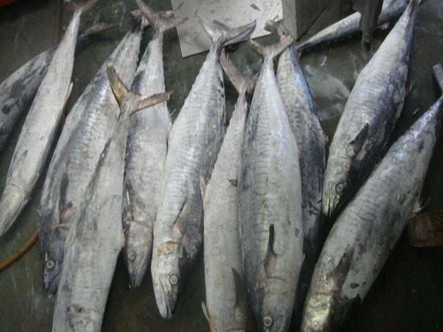 Двуспальная рыба испанская скумбрия полосатая скумбрия
