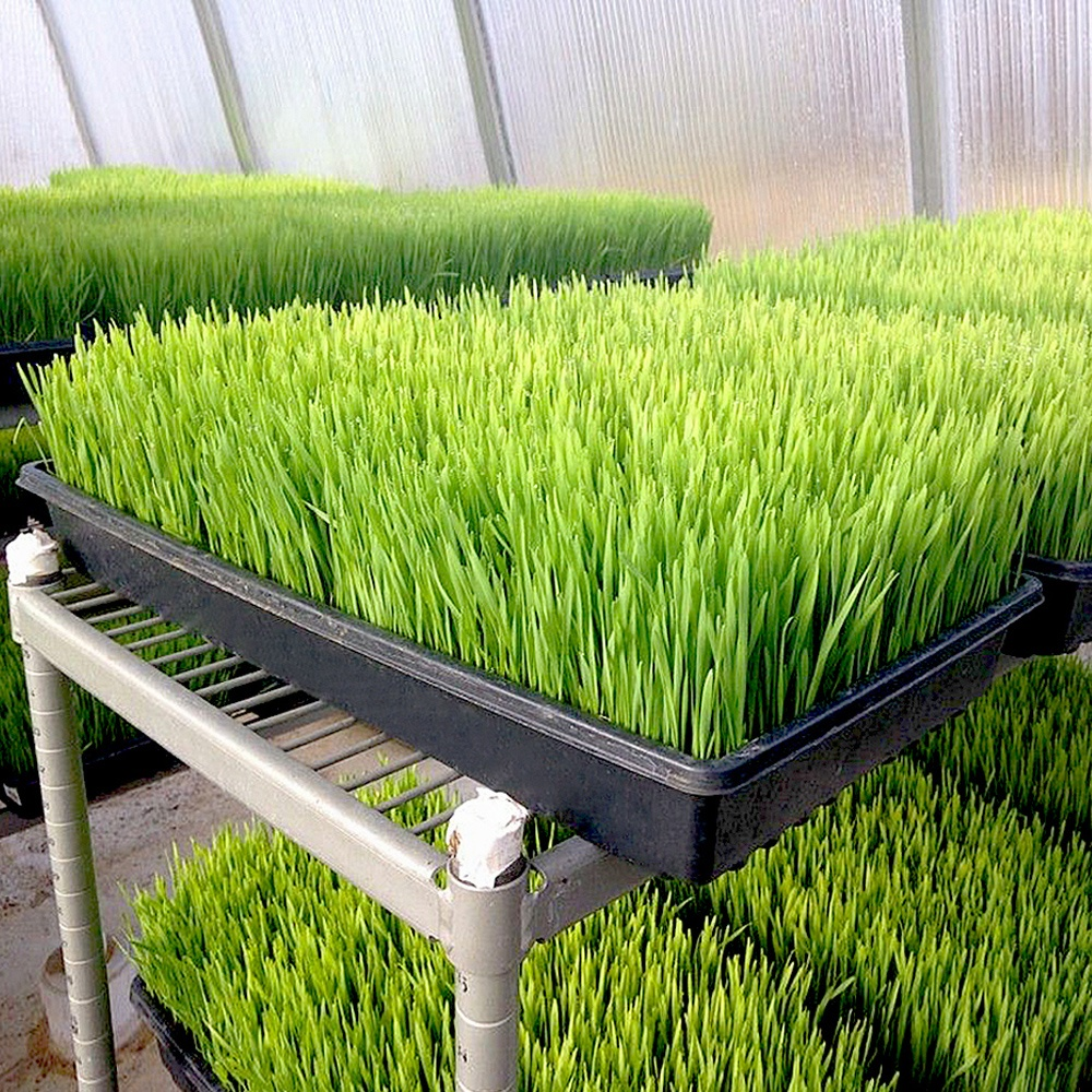 Extra strength durable wheatgrass microgreen hydroponic tray 1020 plant growing seedling trays