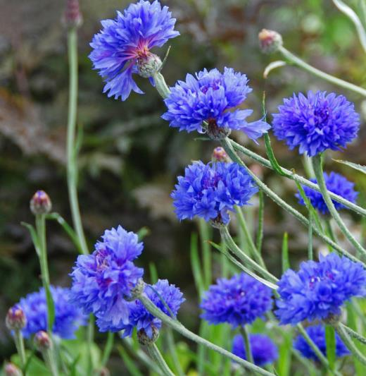 Cornflowers Hydrosol Hydrolate Plant Extract Liquid Water for Skin Care Factory Supplier New