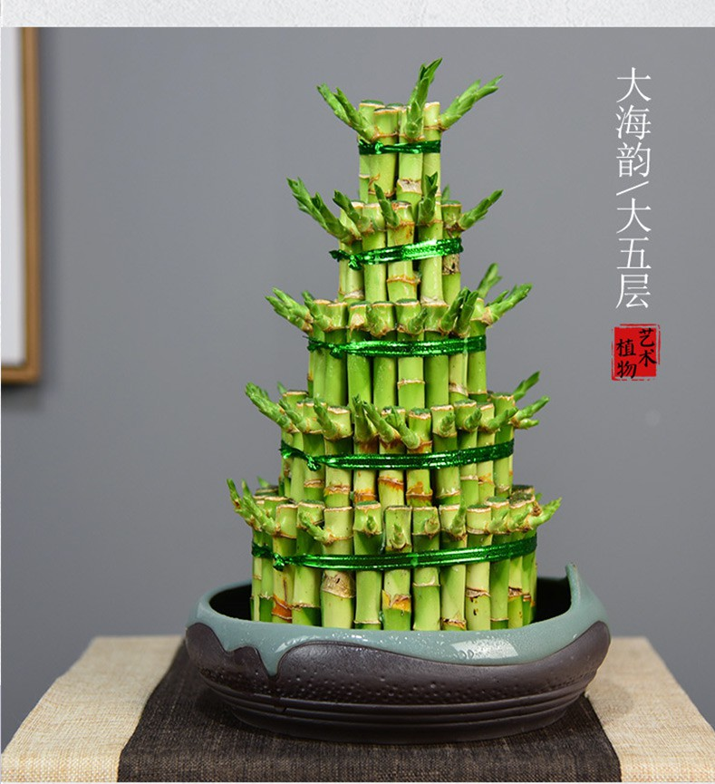 lucky bamboo dracaena sanderiana hydroponic plants indoor lazy plant