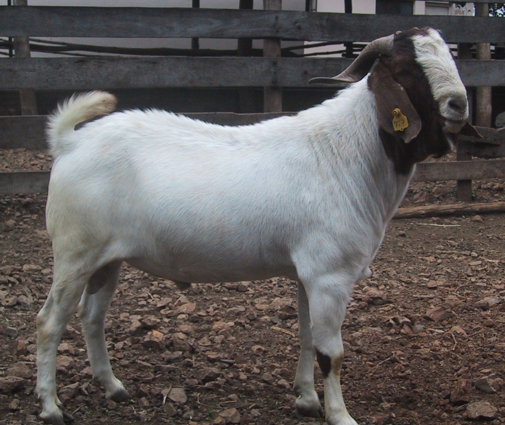 100% Pureblood Mature boar goat for sale