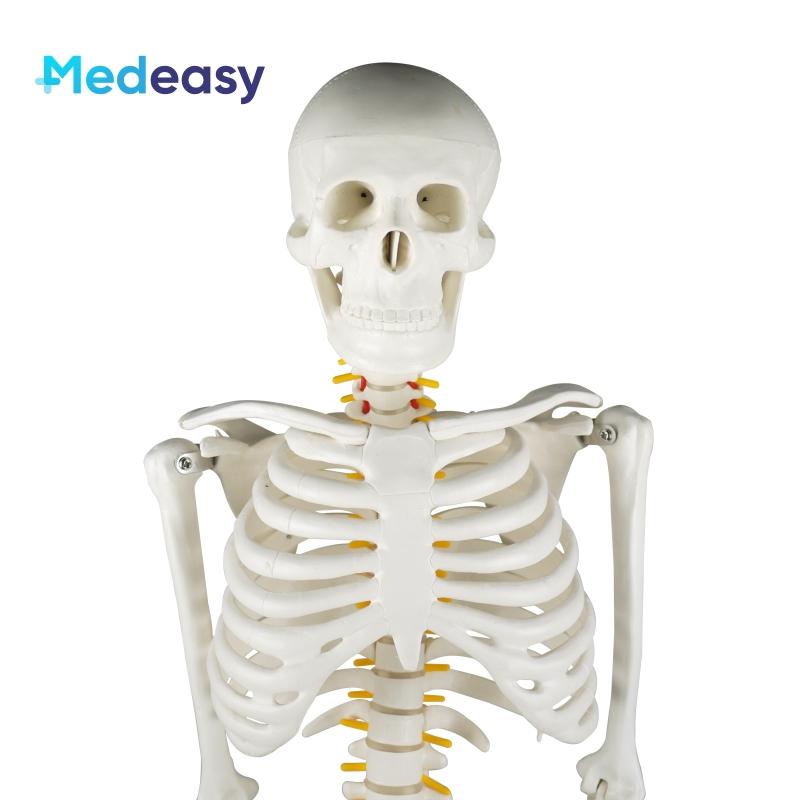 85cm Human Anatomical Skeleton Model, Plastic Skeleton Anatomy Model