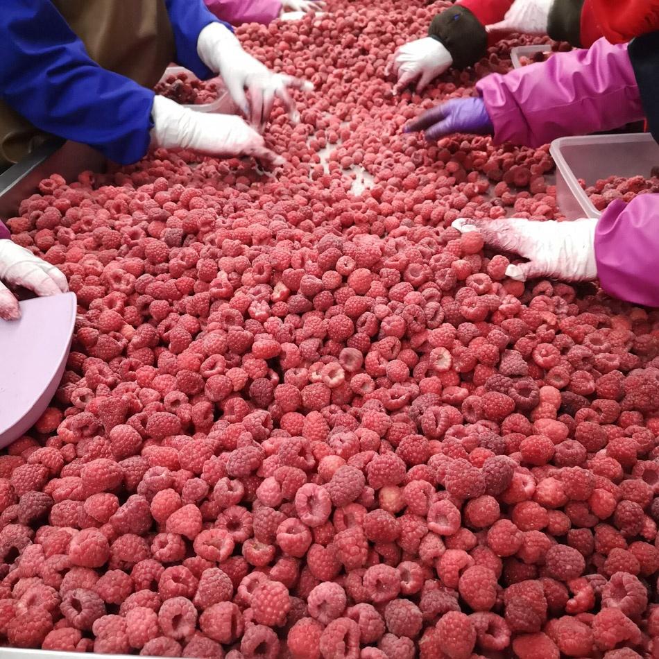 2021 новый урожай органических замороженных малинов IQF по конкурентоспособной цене