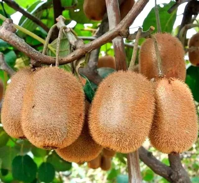 Юго-восточная азия, ближний восток, горячая распродажа, китай, низкие остатки пестицидов, свежие зеленые киви, фрукты киви