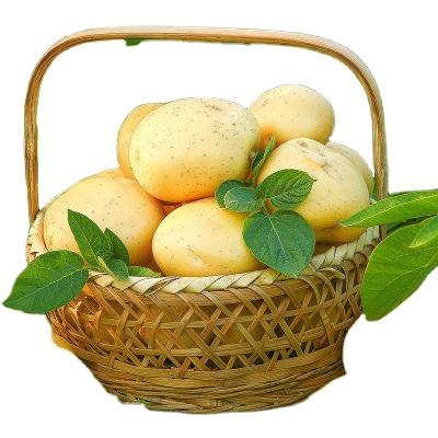 Hot Selling Vegetable Organic Potato Potato Exporter