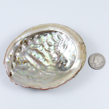 11-12cm natural unprocessed Chinese wholesale beach shells various sizes abalone shell