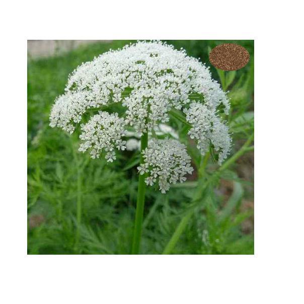 Herbal plant protect liver medicine silymarin milk thistle