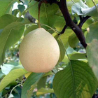 Pear Pear Pear-fresh Pear China Ya Pear Wholesale For Sale