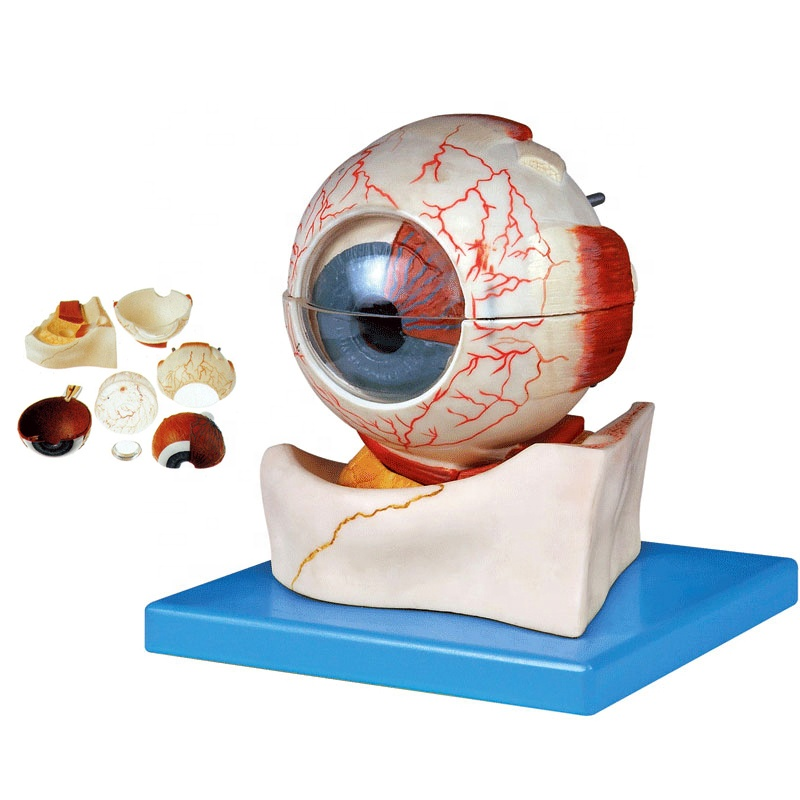 Deluxe 7-part Human Eye Model,Anatomical Eyeball Model - Buy Human Eye  Anatomy Model,Eyeball Model,Eye Structure Model Product on Alibaba.com