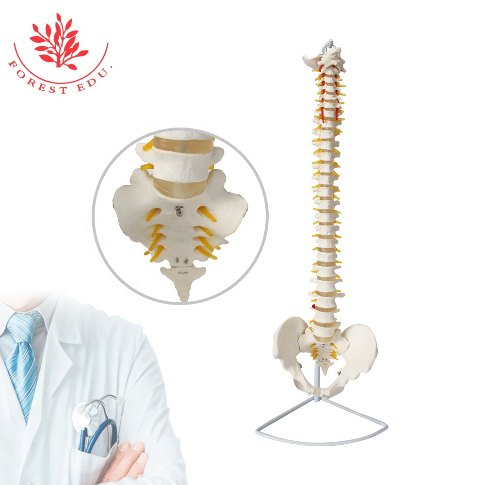 Anatomical Model Spine Pelvic Occiput Spray Hanging Stand Orthopedist Teaching Tool 33 Pieces Of Spine Bone String Together