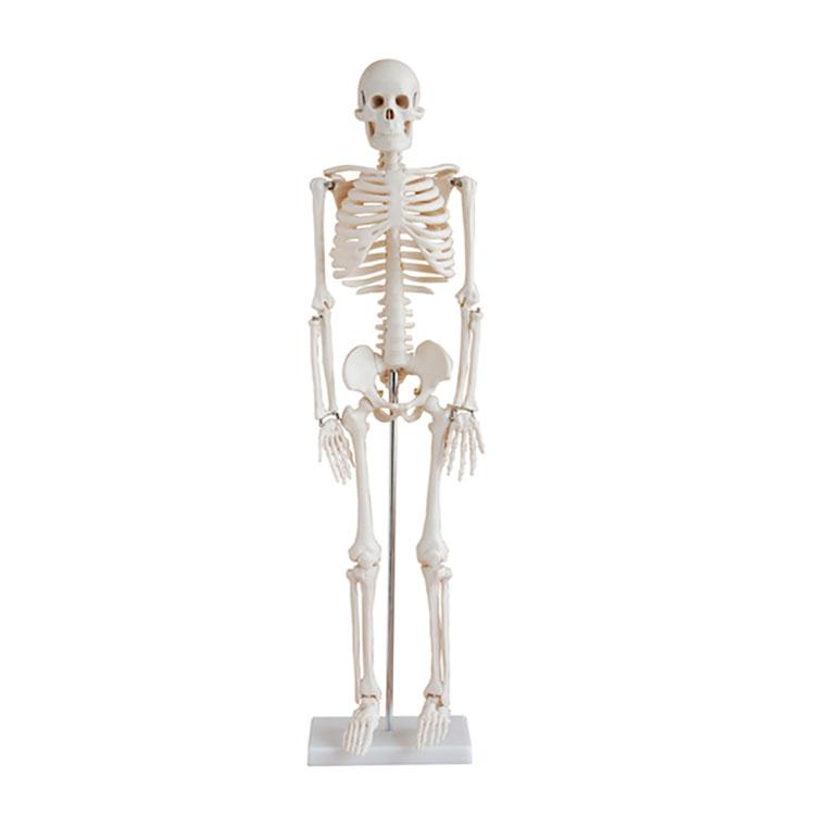 Life-size 180 cm Cheap Plastic Skeleton Human Anatomy Skeleton Model Science Toy for Sale