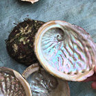 11-12cm Stock Cleared Wholesale Popular Natural Craft Sea Raw Abalone Shell For DIY Home Decoration