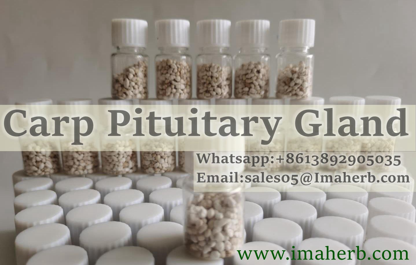 Best Made in China carp pituitary gland for fish breeding BEST PRICE