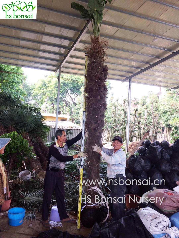 Hot selling Trachycarpus fortunei Trachycarpus FortuneiPalm green plant modern outdoor palms