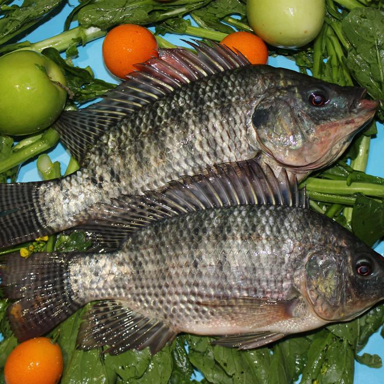 Замороженная ферма тилапии лучшего качества, экспортеры рыб, оптовая цена, покупатели в Южной Африке