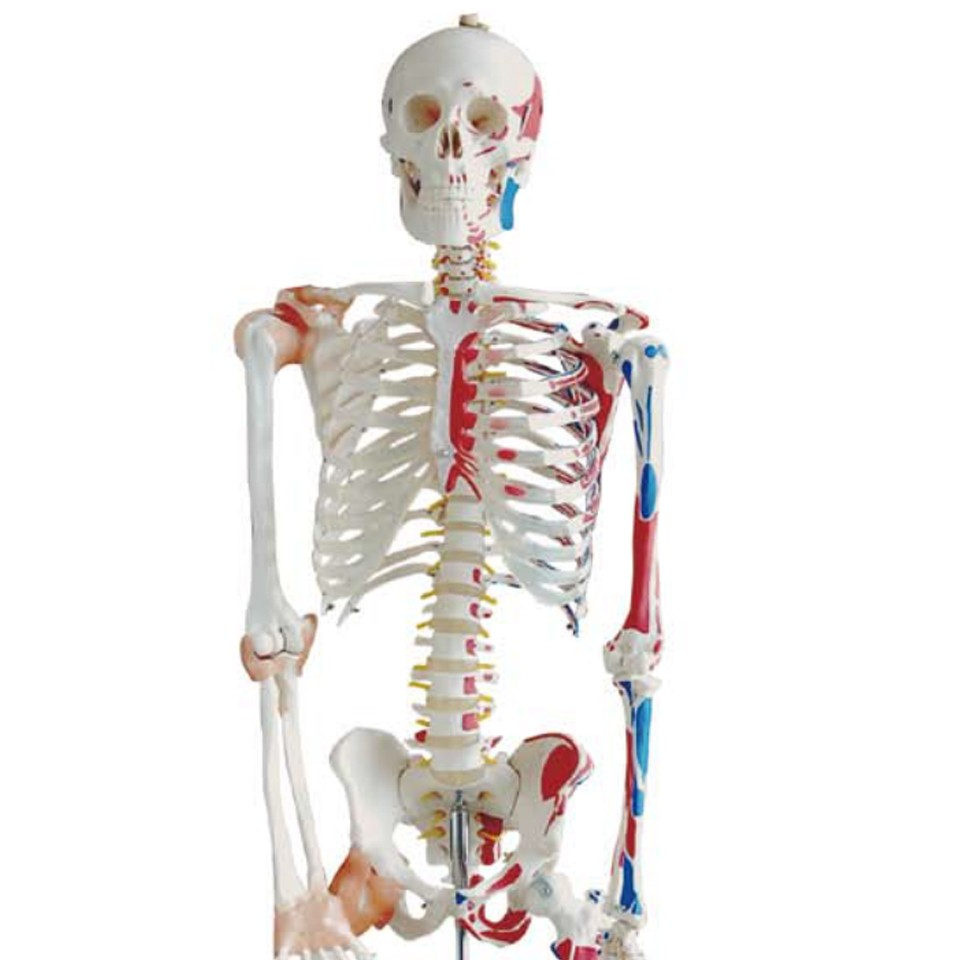 High quality and best price Human Medical and teaching models life-size Skeleton 180cm tall