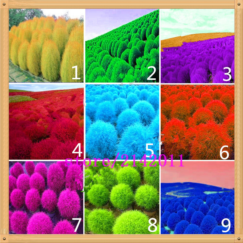 Aliexpress Com Buy 200 Pcs Bag Kochia Kochia Scoparia