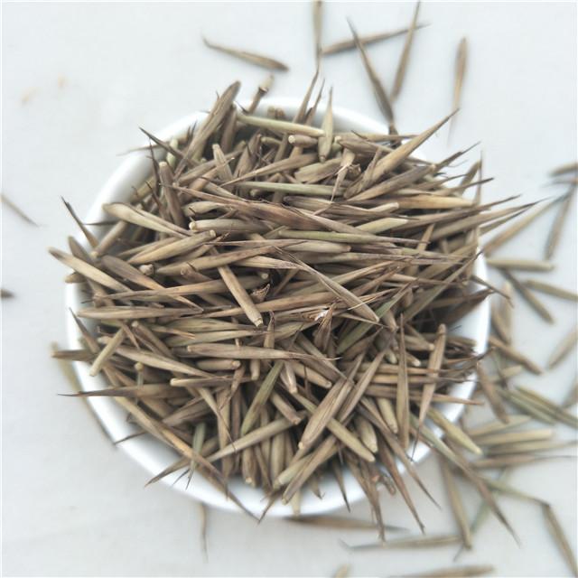 Ju zhu Early maturity F1 hybrid chinese pure Giant bamboo seed