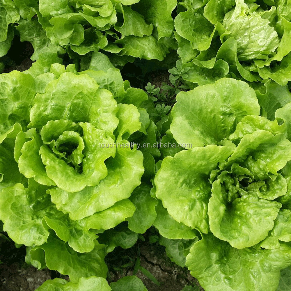 Lettuce Warnings For Christmas 2021 2021 Touchhealthy Supply New Special Varieties Of Vegetables Imported From Abroad Lettuce Seeds 20gram Bags Buy Lettuce Seeds Lactuca Sativa Seeds Vegetable Seeds Product On Alibaba Com