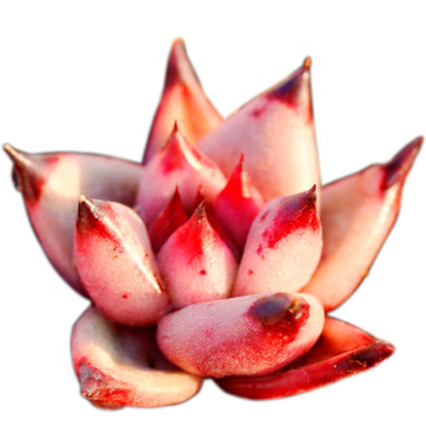 Wholesale Succulent Plants Echeveria agavoides Romeo with LOW PRICE