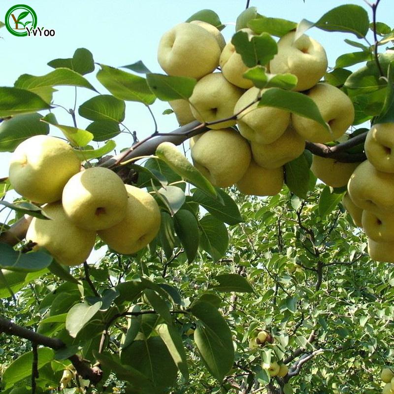 poire fruits arbres promotion achetez des poire fruits arbres promotionnels sur. Black Bedroom Furniture Sets. Home Design Ideas