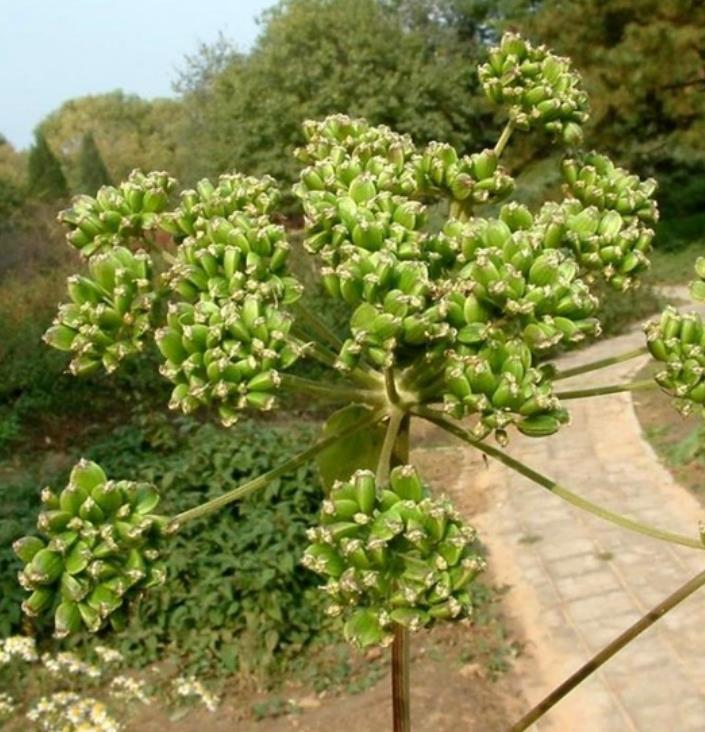 Dang gui 500g NON-GMO hotsale Angelica sinensis seeds for planting