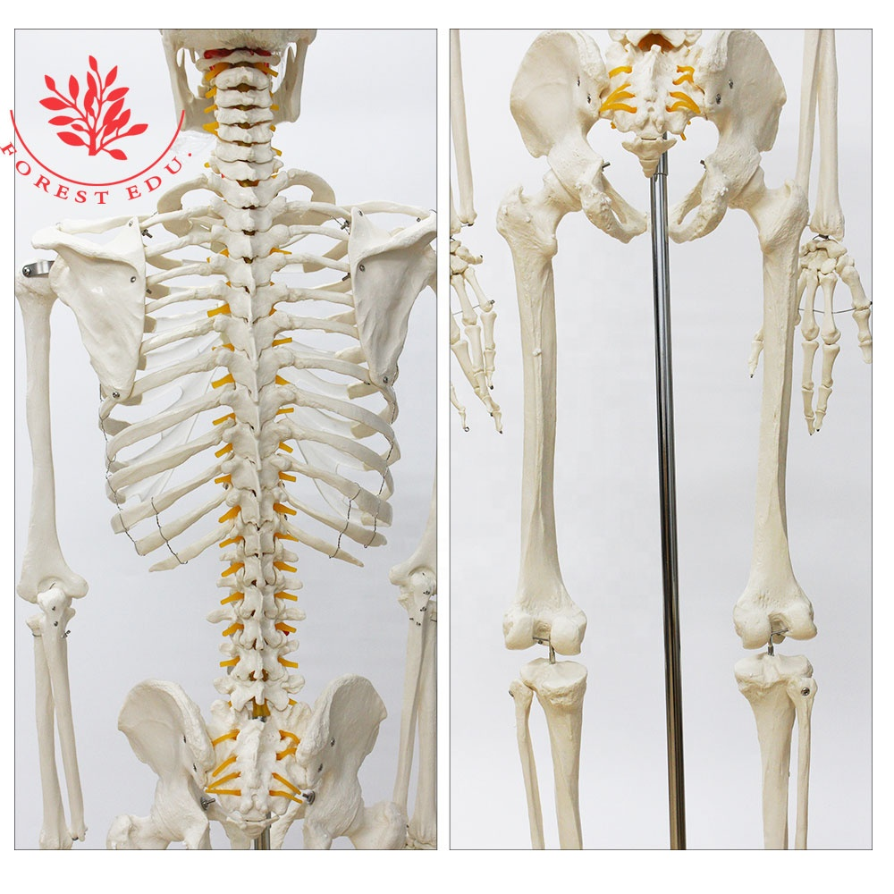 Height 176(cm) Dimensions and Teaching Model Product Type full skeleton of human