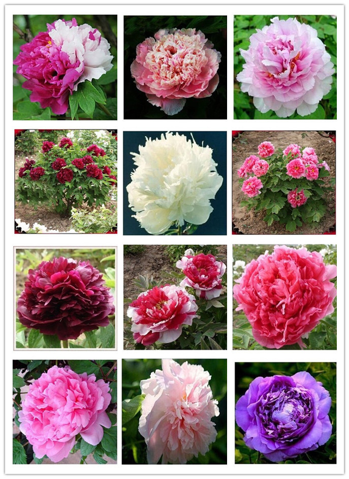 24 kinds pretty peony seeds 15pcs pack free shipping high quality peony flower seeds for home