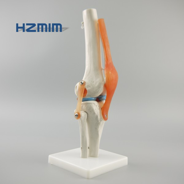 Life size Human knee model for medical education, knee joint model with Ligament