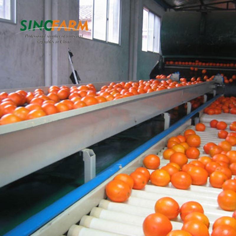 Export Oranges Navel Sweet Orange Fruit