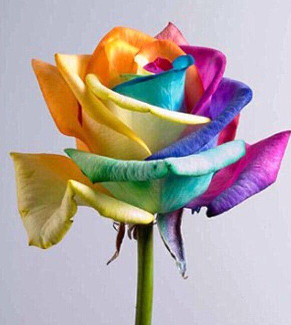 Rainbow rose flower seed companies hot sale rose seeds