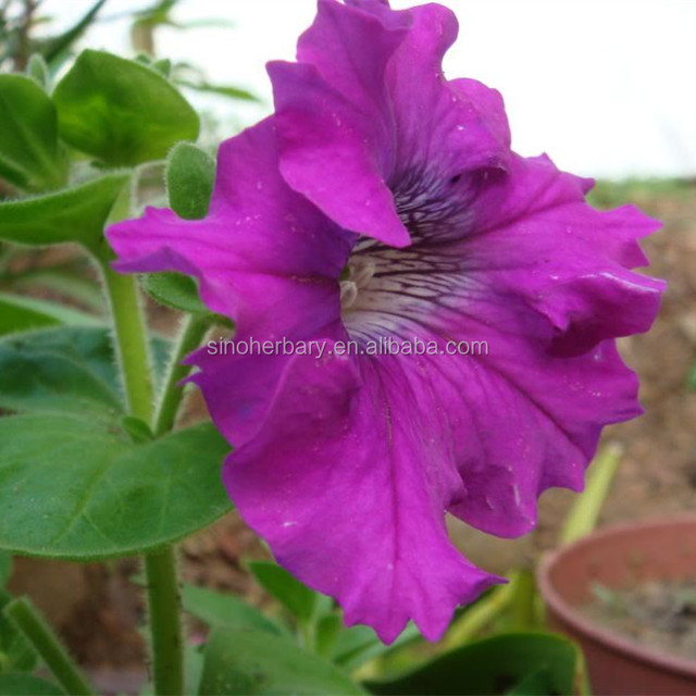 High quality hybrid petunia flower seeds for sale