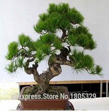 Semínka japonského bonsai – 30 ks /bal