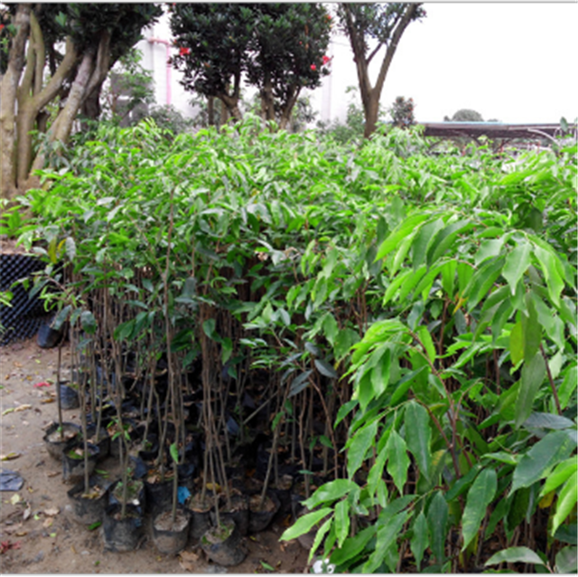 Chen xiang Chinese Outdoor landscape plant Fresh Agarwood seeds