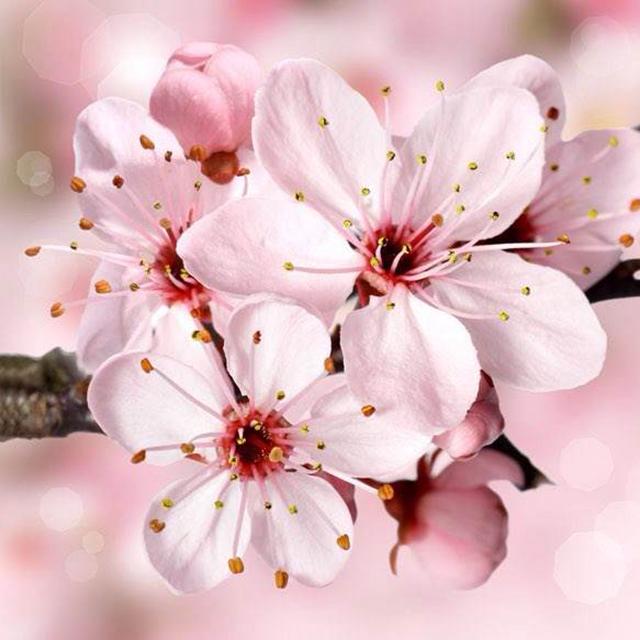 Beautiful Live Cherry Blossom Tree Buy Cherry Blossom Tree Beautiful Cherry Tree Live Cherry Blossom Tree Product On Alibaba Com