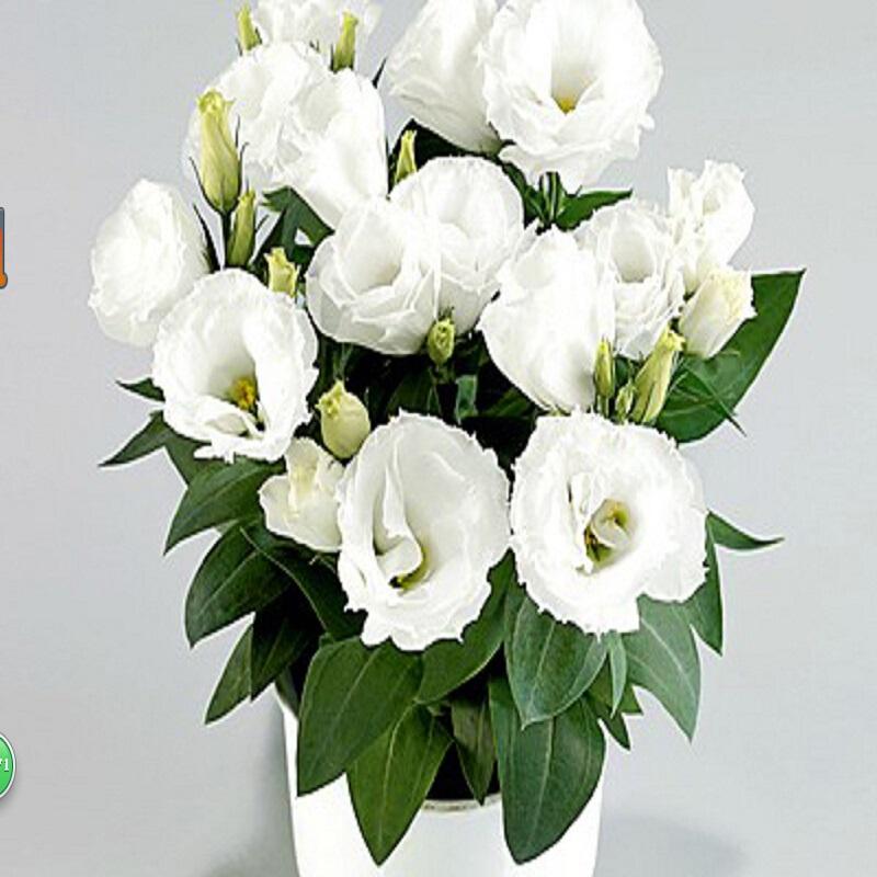 online kaufen gro handel blume lisianthus aus china blume lisianthus gro h ndler. Black Bedroom Furniture Sets. Home Design Ideas
