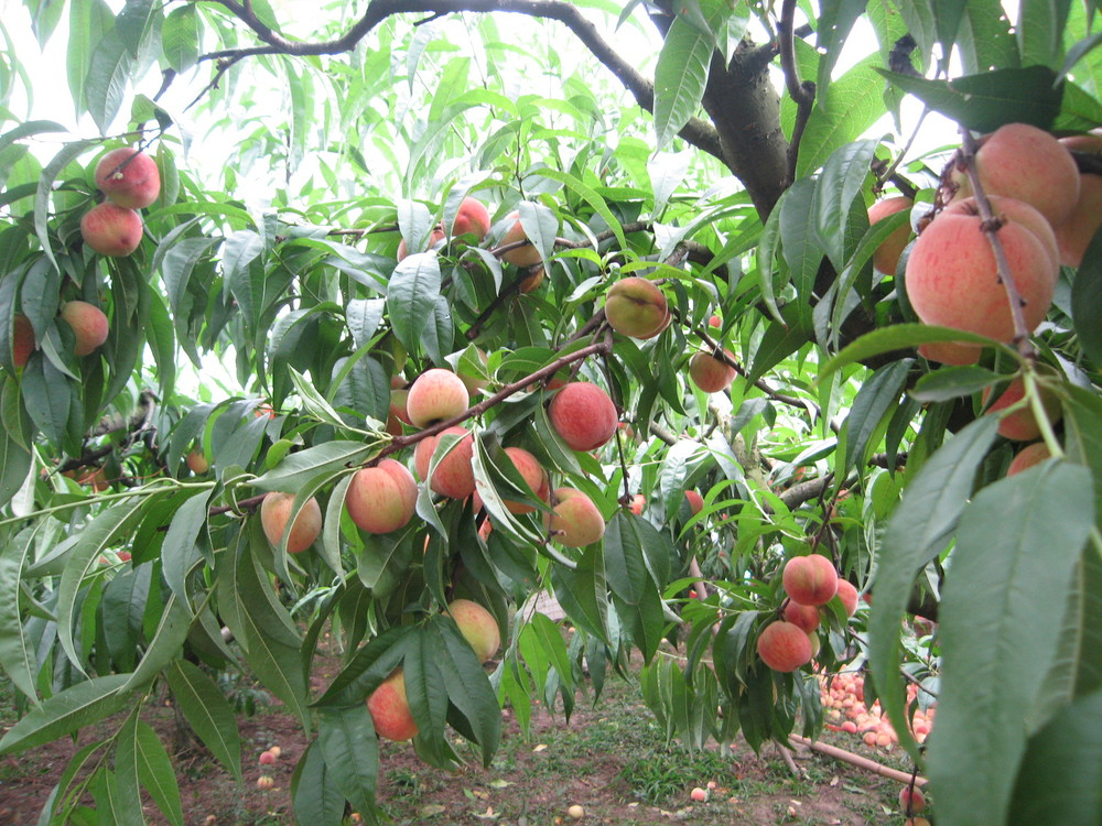 2014 High Quality Fruit Tree Seeds Peach Seed For Sale ...