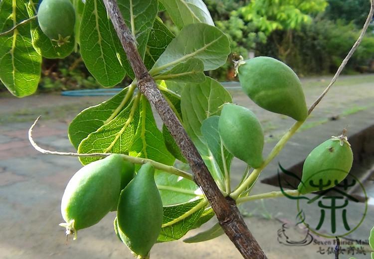 Compre Ampliamente Cultivada Terminalia Mantaly Semillas Planta