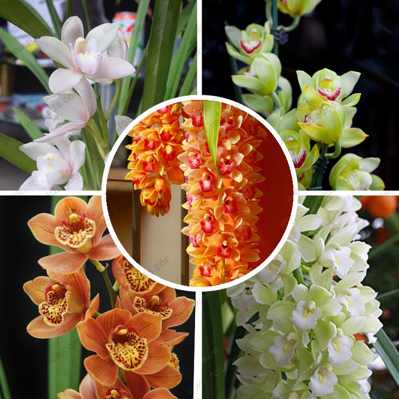 graines de fleurs d 39 orchid es achetez des lots petit prix graines de fleurs d 39 orchid es en. Black Bedroom Furniture Sets. Home Design Ideas