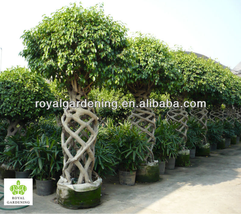 Ficus Benjamina Cage Shape Topiary Plant Landscaping Tree Buy Ficus Microcarpa Bonsai Tree Ficus Bonsai Product On Alibaba Com