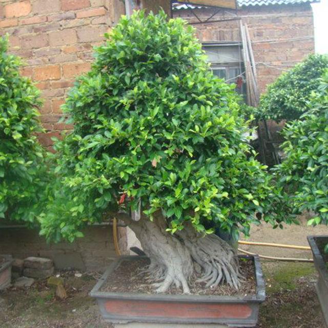 Asiatic Elm Dwarf Elm U Pumilla Bonsai Plant Nursery Buy Asiatic Elm Bonsai Dwarf Elm Bonsai Elm Bonsai Plant Nursery Product On Alibaba Com
