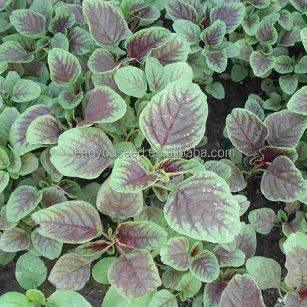 AM01 Dianhong round leaf red amaranth seeds for planting