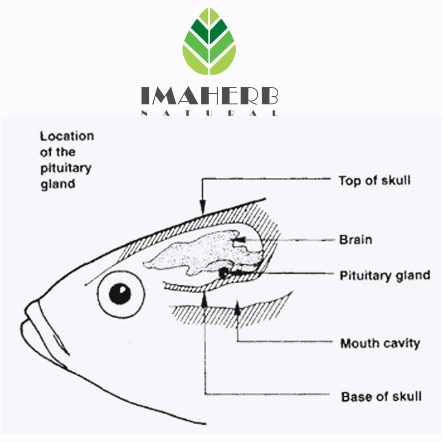 Supply Pure Carp Fish Pituitary Gland