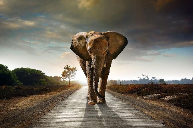 African Elephant 20