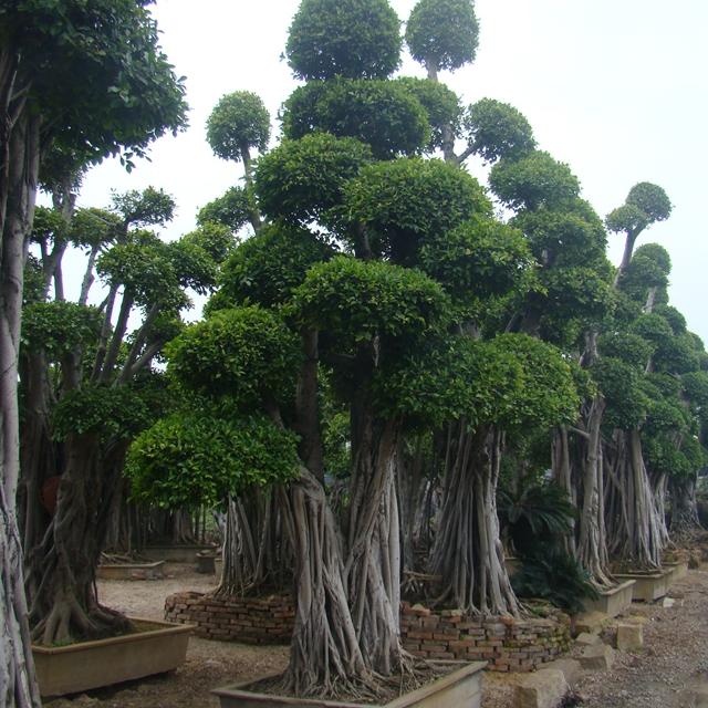 Large Outdoor Bonsai Trees Buy Large Bonsai Outdoor Bonsai Trees Bonsai Tree Outdoor Product On Alibaba Com