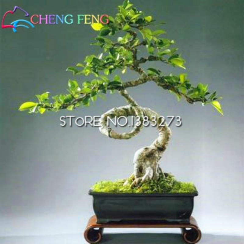 bonsai ficus ginseng kaufen billigbonsai ficus ginseng. Black Bedroom Furniture Sets. Home Design Ideas