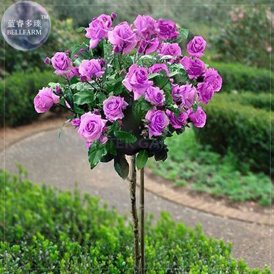 Rose Tree Promotion-Shop for Promotional Rose Tree on